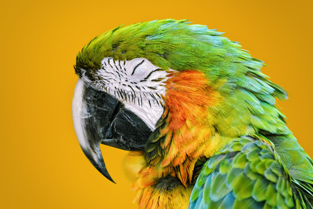 psittacidae: Portrait of Sleeping Macaw Parrot over the Yellow Background