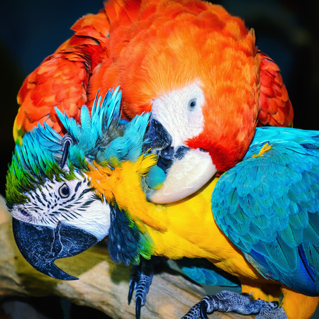 psittacidae: Two Macaw Parrots