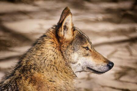 looking ahead: Portrait of the Wolf Looking Ahead