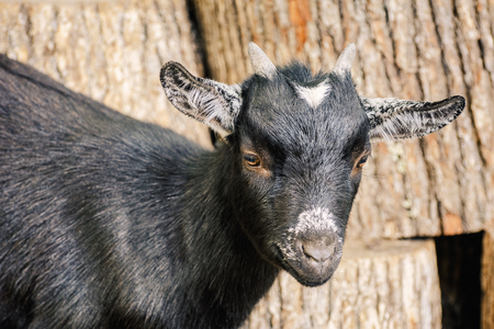 yeanling: Portrait of Black Goat with Small Horns Stock Photo