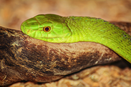 serpentes: Portrait of One of the Most Dangerous Snakes - Green Mambas Stock Photo