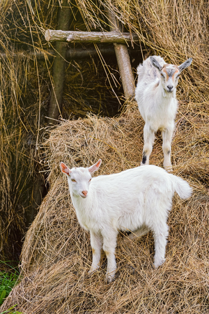 nanny goat: Two White Goatlings on a Haystack Stock Photo