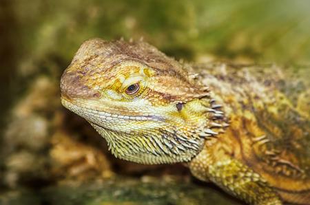 vertebrate animal: Portrait of Central Bearded Dragon