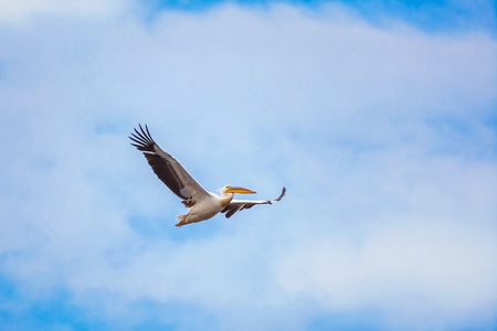wingspread: Flying Pelican in the Sky Stock Photo