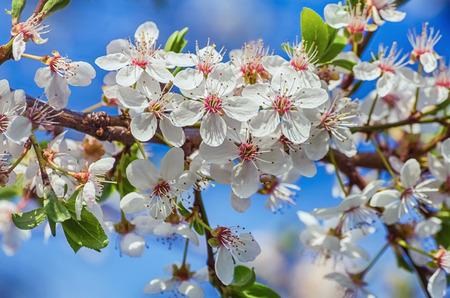 florescence: Blossoming Cherry Plum Against The Blue Sky