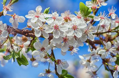 myrobalan: Blossoming Cherry Plum Against The Blue Sky