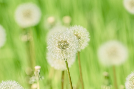 anthesis: Dandelions on the Green Field