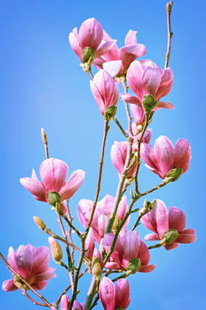 carpels: Pink Magnolia Flowers against the Blue Sky