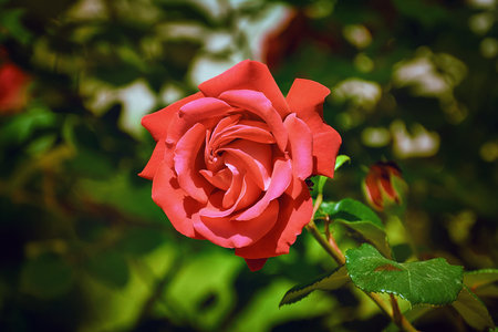 anthesis: Red Rose Flower Stock Photo