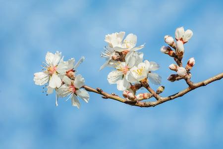 myrobalan: Spring Flowers over the Blue Background