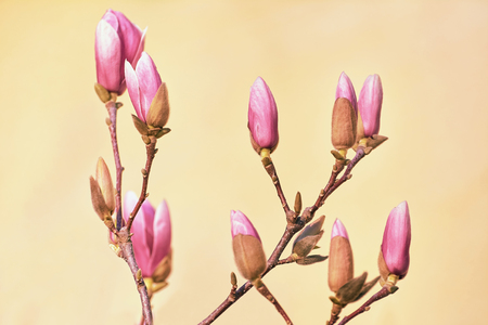 carpels: Pink Magnolia Flowers against the Yellow Background
