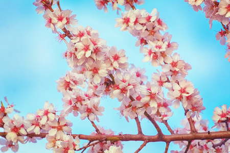 anthesis: Flowers of Blooming Almond Tree on the Blue Sky Background Stock Photo