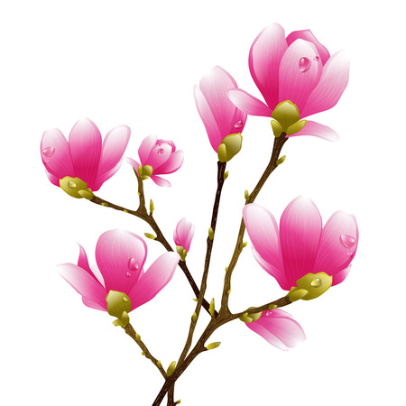 plant delicate: Magnolia Spring Pink Flower Blossom Over White Background