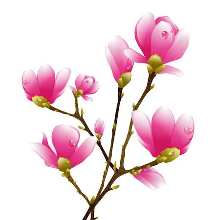 magnolia tree: Magnolia Spring Pink Flower Blossom Over White Background