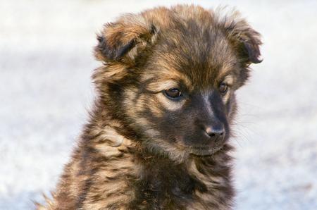 cur: Portrait of Mongrel Puppy Stock Photo