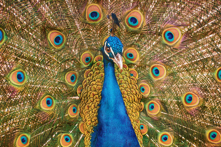 courtship: Portrait Of The Peacock During Courtship Display