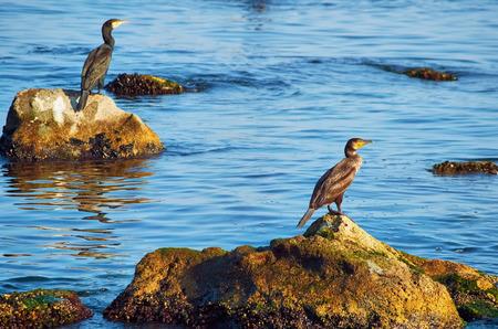 marine bird: Cormorants on the Stones in the Black Sea Stock Photo