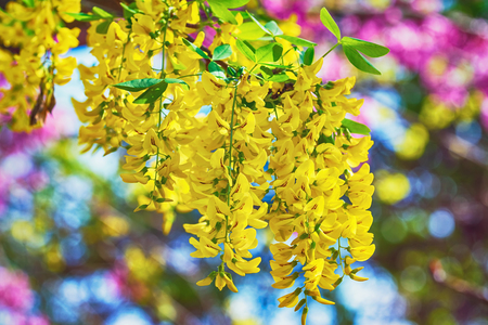 anthesis: Racemes of Yellow Common Laburnum Flowers