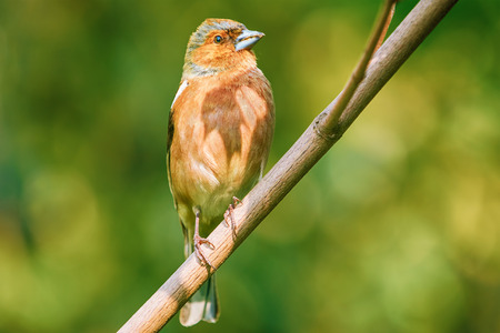 perching: Male Common Chaffinch Perching on the Bough Stock Photo