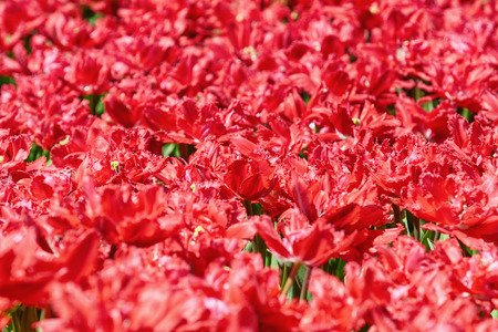 anthesis: Field of Red Tulips (Shallow DoF)