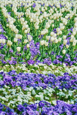anthesis: Field of White Tulips among Pansy Flowers Stock Photo