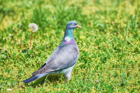 grassplot: Big Common Wood Pigeon in the Grass