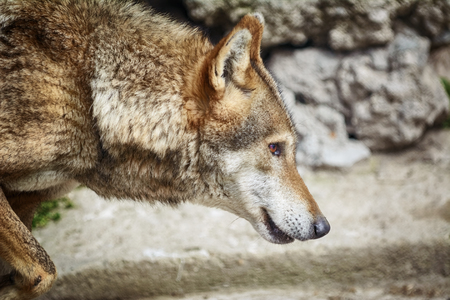 canid: Portrait of the Wolf Looking Ahead