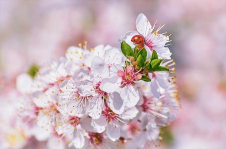ecological environment: Ladybug on the Flowering Plum (Shallow DoF) Stock Photo