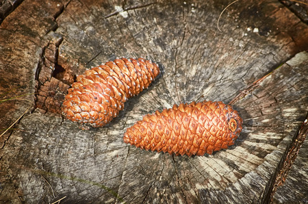 fir cones: Two Fir Cones on the Stump