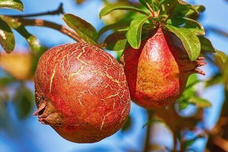 punica granatum: Fruit of Punica Granatum on the Tree Stock Photo