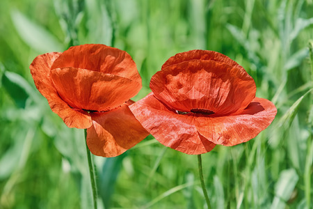 anthesis: Poppy Flowers against of the Grass