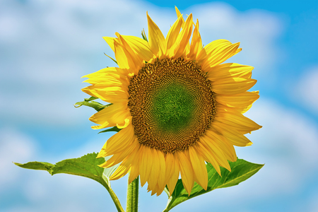 anthesis: Single Yellow Sunflower against the Cloudy Sky