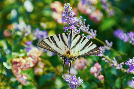 papilionidae: Swallowtail Butterfly (Papilio Machaon) on the Lavender Flower