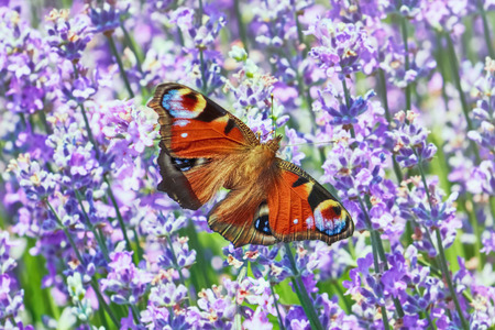 inachis: European Peacock Butterfly on Lavender Flowers