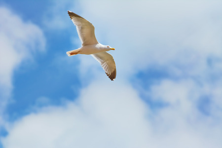 wingspread: Big Seagull Soaring in the Cloudy  Sky
