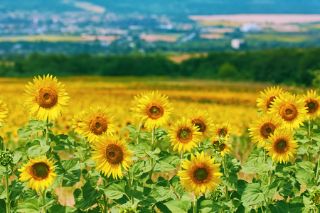 anthesis: Ripe Yellow Sunflowers at front of Bulgarian Landscape Stock Photo