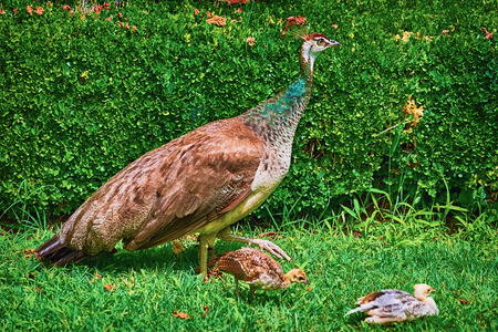 peahen: Peahen with Nestlings Walking in the Garden
