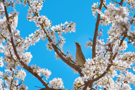 anthesis: Spotted Flycatcher (Muscicapa Striata) among the Sakura Flowers Stock Photo
