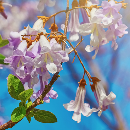anthesis: Paulownia Fortunei Flowers against the Blue Sky