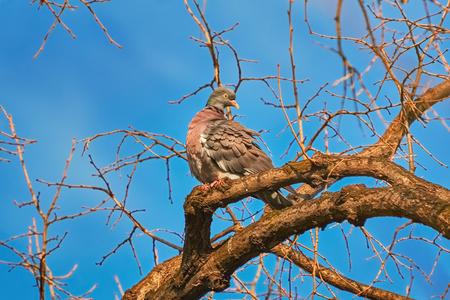 tree branch: Common Wood Pigeon (Columba palumbus) Perching on the Bough Stock Photo