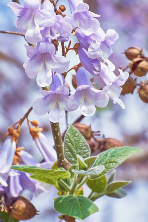 anthesis: Paulownia Fortunei Flowers against the Flower Background Stock Photo