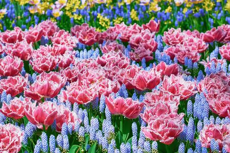 flowerbed: Flowerbed of Fringed Tulips and Muscari Botryoides