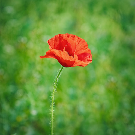 anthesis: Red Poppy Flower against the Green Background Stock Photo