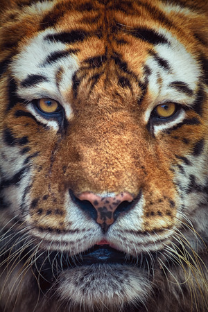 Close Up Portrait of Tiger Looking Ahead Stock Photo