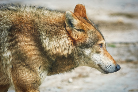 rostrum: Close up Portrait of the Grey Wolf
