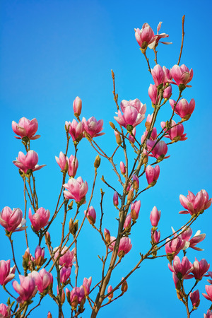 anthesis: Pink Magnolia Flowers against the Blue Sky