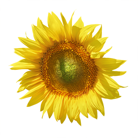 anthesis: Yellow Sunflower against the White Background