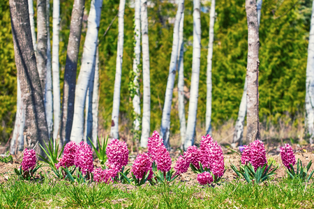 anthesis: Hyacinth Flowers in front of the Trees
