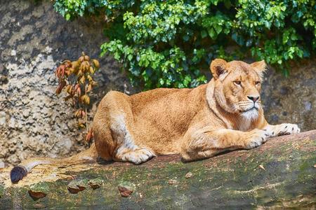 foreleg: Wild Lioness Lies on a Tree Trunk