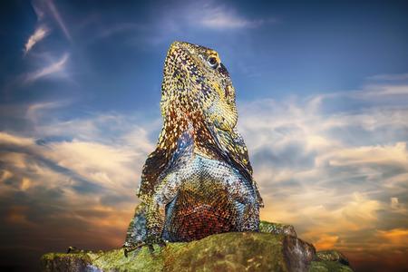 Guatemalan Spiny-tailed Iguana on the Stone Stock Photo